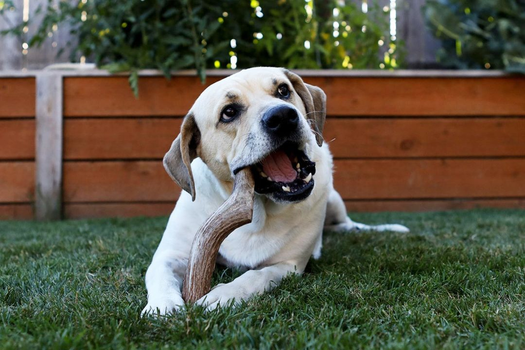 Antler dog chews added to Holistic Hound portfolio