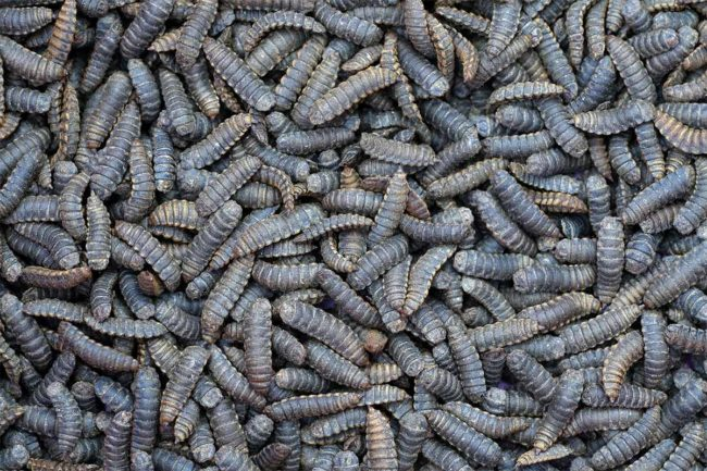 ADM partners with InnovaFeed on insect protein processing for animal food