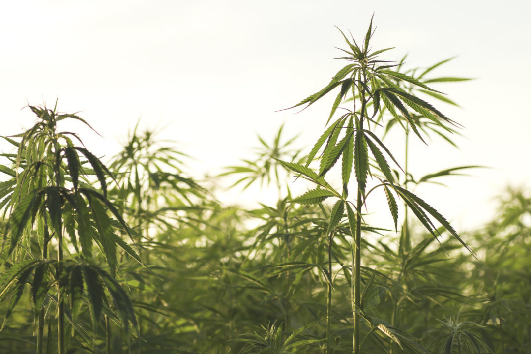 USDA issues final rule for hemp processors in the US