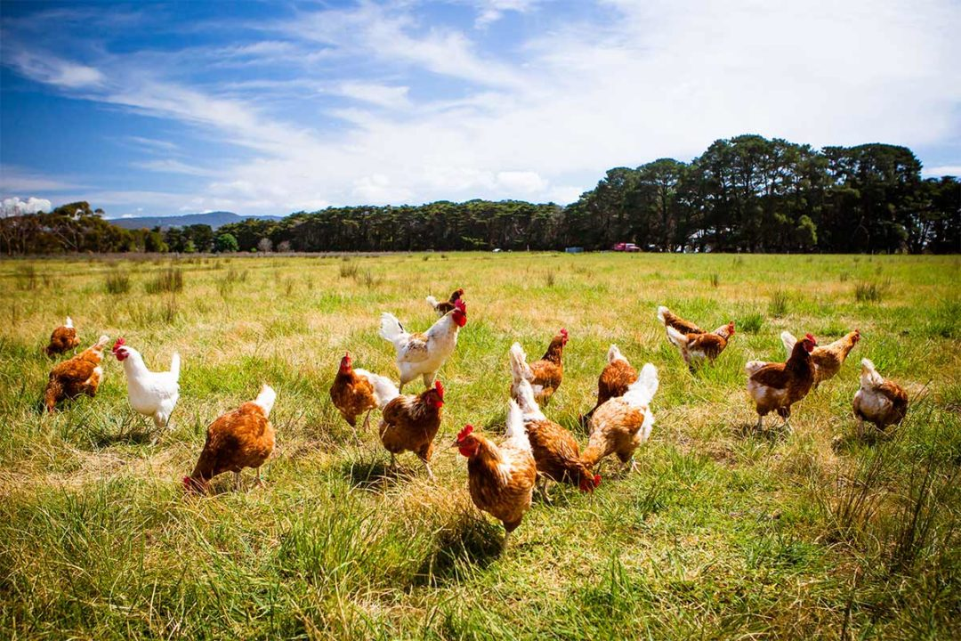 The Honest Kitchen commits to improve animal welfare for chicken sources