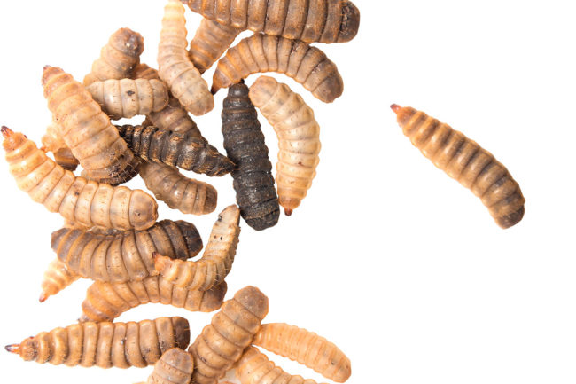 Black soldier fly larvae approved for use in adult dog food