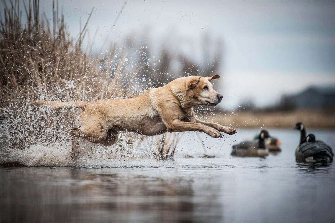 Eukanuba debuts Premiere Performance diets for sporting dogs