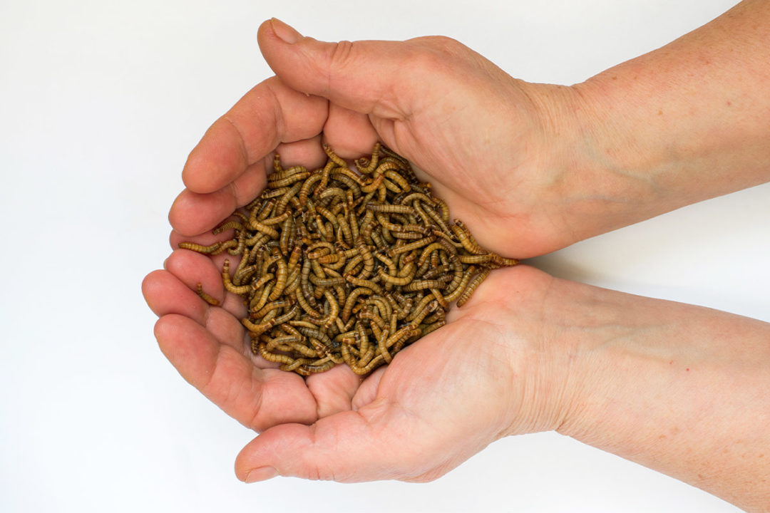 Bühler expands insect processing capabilities for yellow mealworms