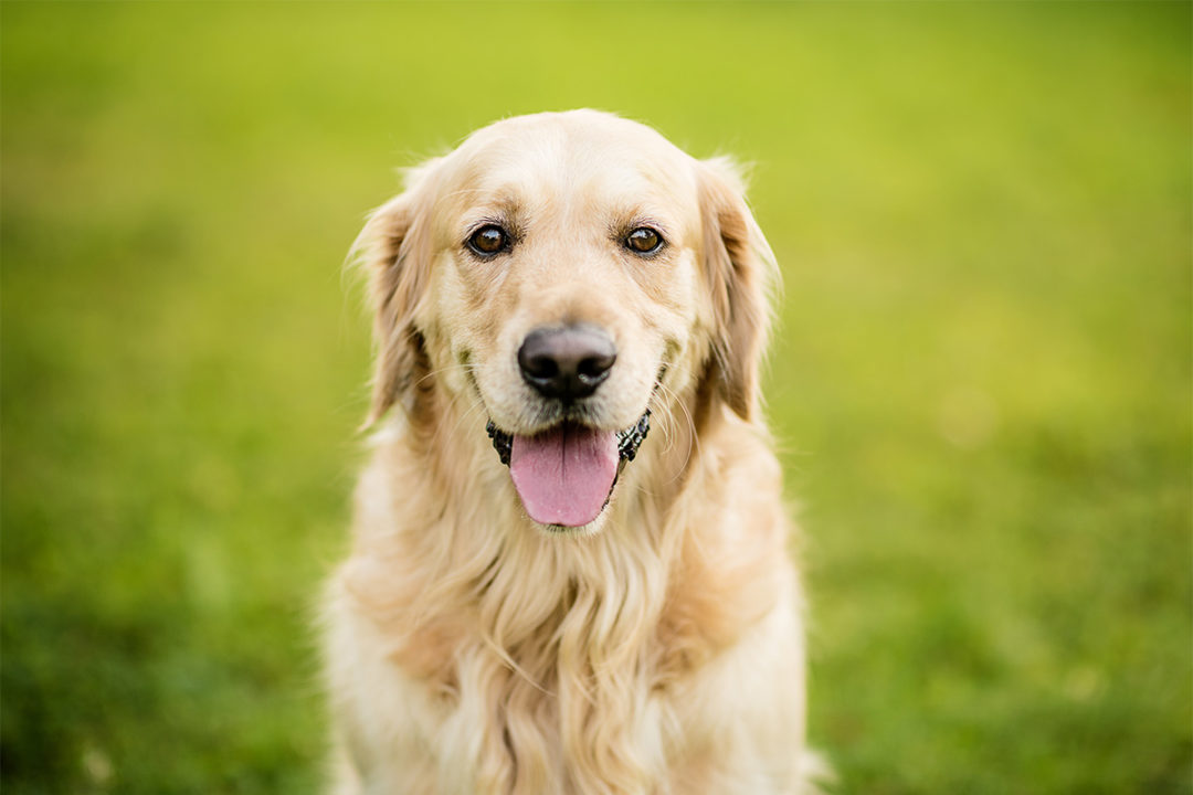 Golden Retriever Lifetime Study data made available to researchers through Data Common database