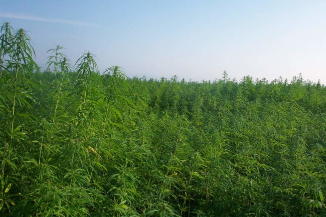USDA launches program to regulate hemp farming