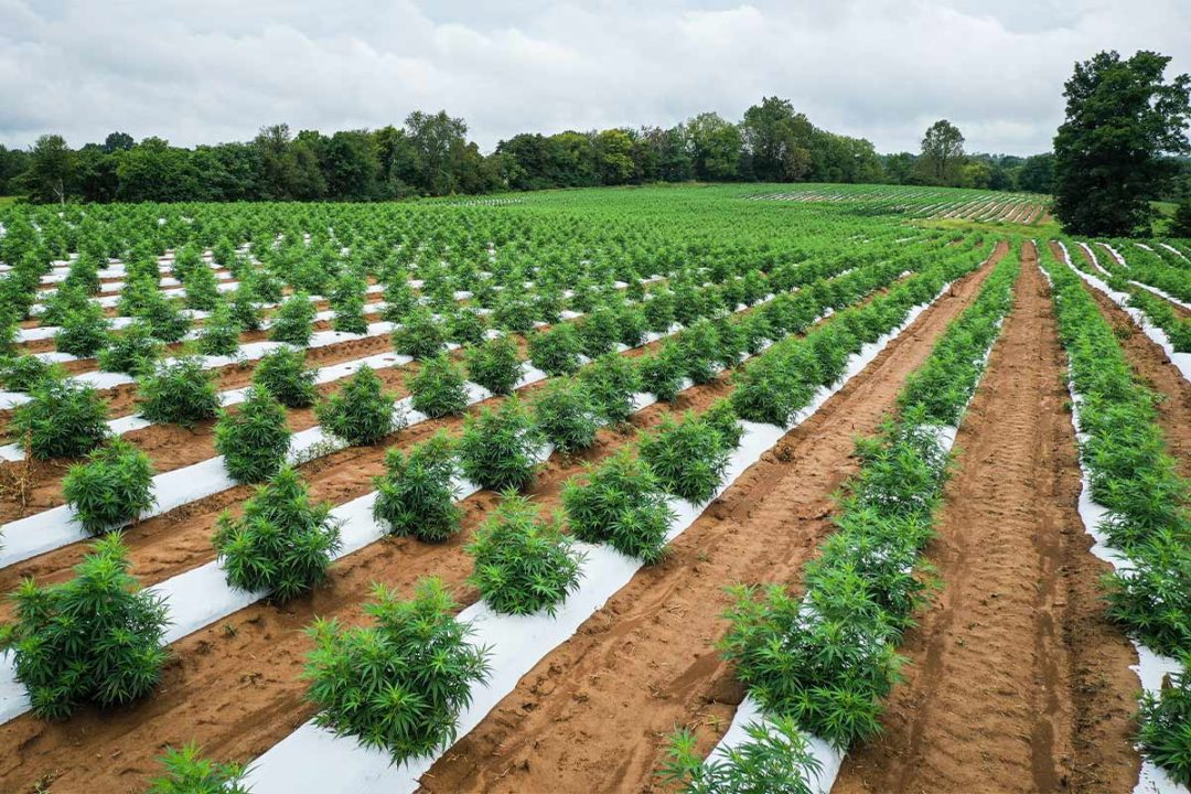 CBD not cleared as GRAS by FDA for human or animal food products