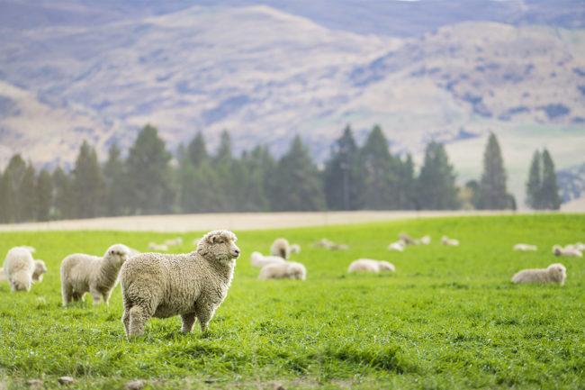New Zealand sheep (©STOCKR - STOCK.ADOBE.COM)