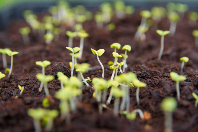 Seeds sprouting from the soil