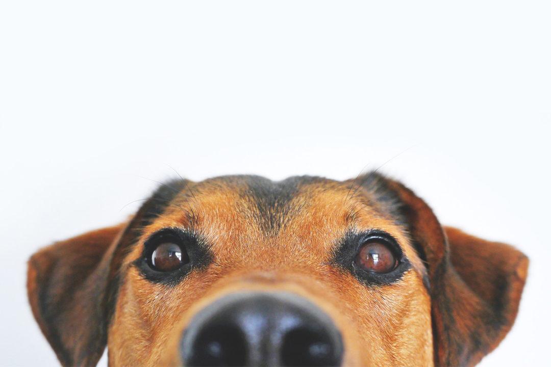 A beagle face