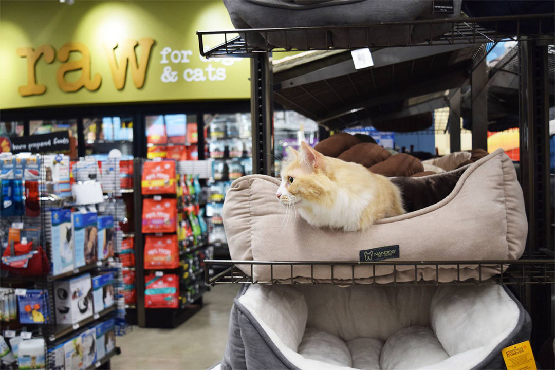 Cat sitting on bedding inside Pet Food Express store in California