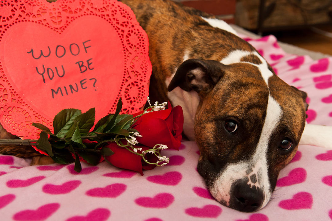 """Dog with roses and box of Valentine's chocolates with """"Woof you be mine?"""" written on it (©STOCKR - STOCK.ADOBE.COM)"""