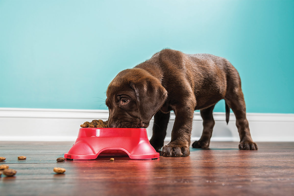 Chocolate lab puppy eating from red bowl ©istock.com