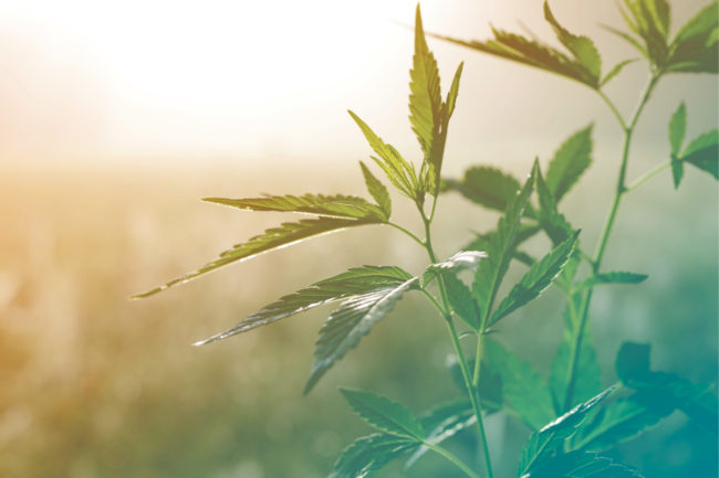 Hemp plant (©STOCKR - STOCK.ADOBE.COM)