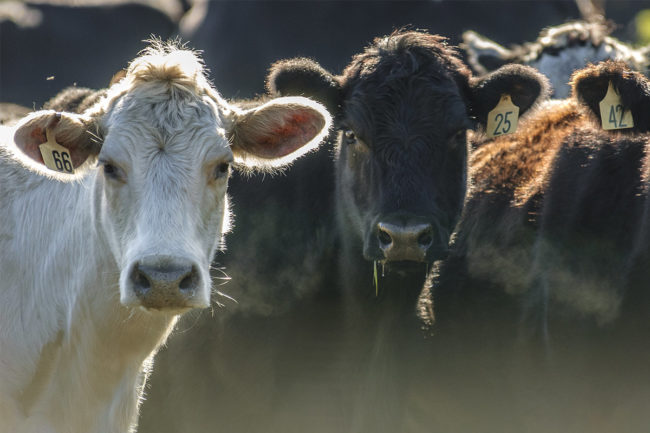 Cattle (©STOCKR - STOCK.ADOBE.COM)