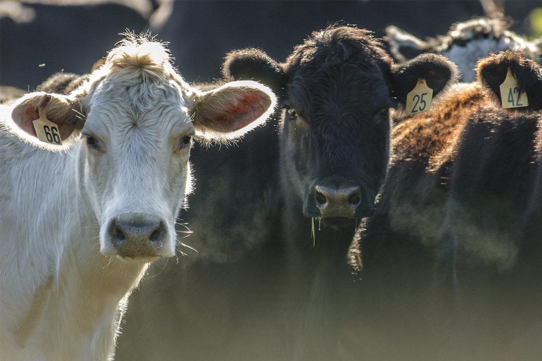 Cattle (©STOCKR - STOCK.ADOBE.COM)